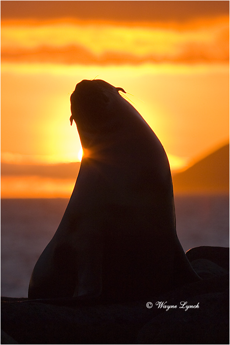 California Sea Lion 110 by Dr. Wayne Lynch ©
